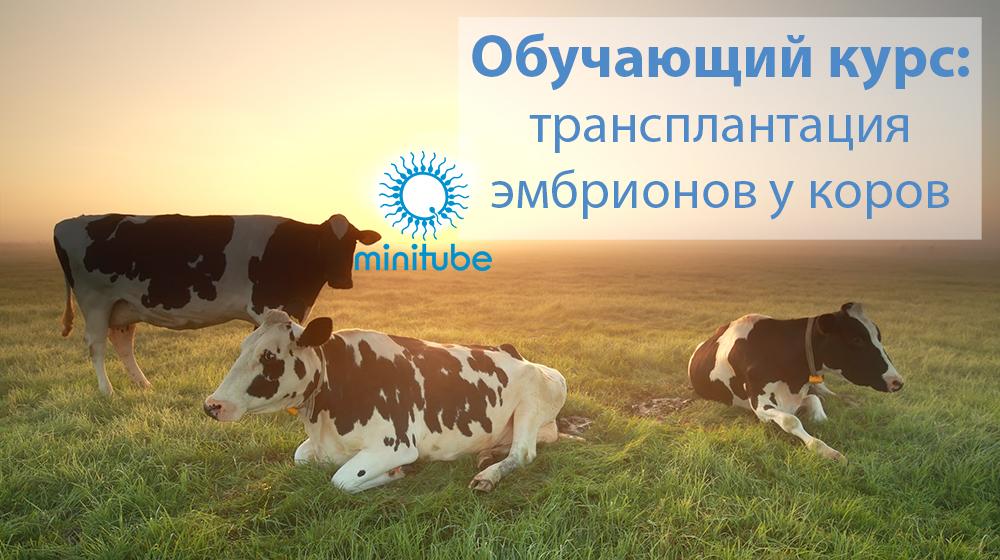 obuchajushhij-kurs-transplantacija-jembrionov-u-korov-2020-minitube